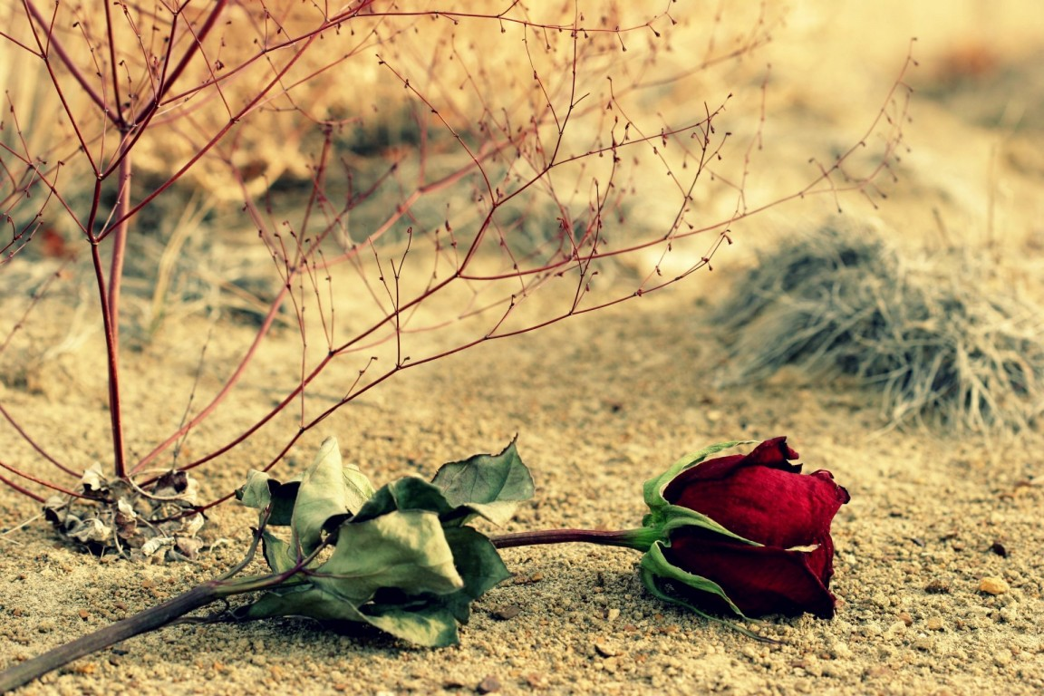Flower Rose Red Rose Leaves Branches Full Screen Hd