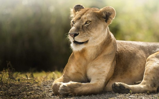 African Lioness Animal Hd Wide Wallpaper Freshwidewallpapers Com