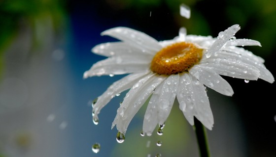 nature daisy flower drops rain…