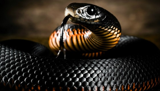 Big Black Anaconda hd wallpape…