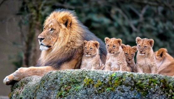 lion with baby lion Babies and…