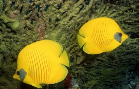 Beautiful Yellow Fish in Sea P…