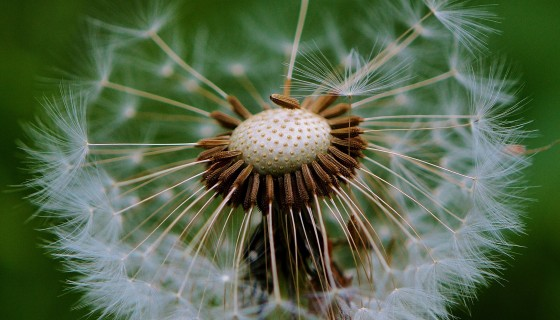 dandelion plant nature beautif…