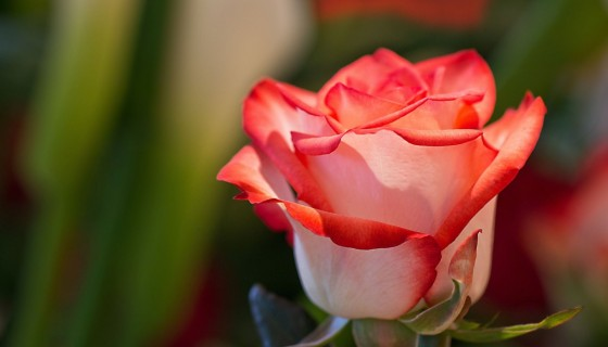 beautiful white red color Rose…