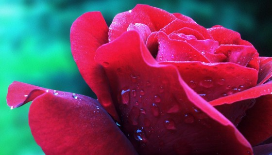 Water Drop On Red Rose Petal 4…