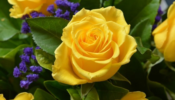 Beautiful Yellow Rose 4k