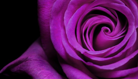 purple color rose wide wallpap…