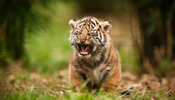 animals tiger baby animals