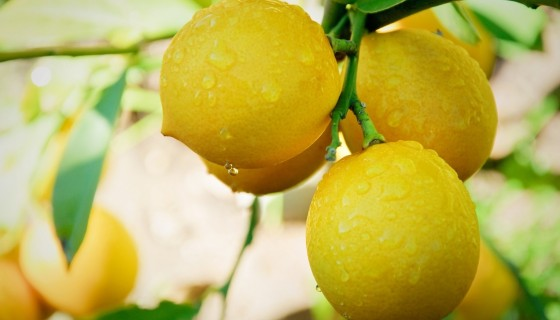 Lemon Tree hd wallpapers