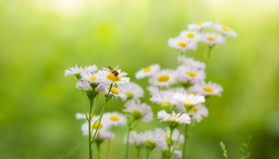 white flower bees wallpaper