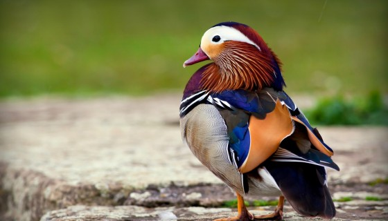 mandarin duck birds hd wa…