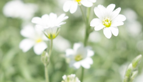 white flowers hd wallpape…