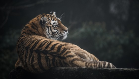 tiger animals big cat 4k