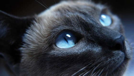 blue eyes cat face blck cat