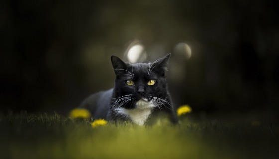 black cat animals cute cat