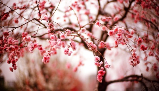 trees photography cherry …
