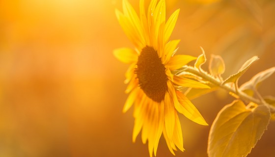 sunflowers yellow flower leave…
