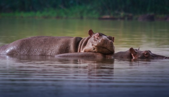 hippos resting head rivers 4k