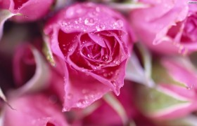 beautiful Pink Roses flower