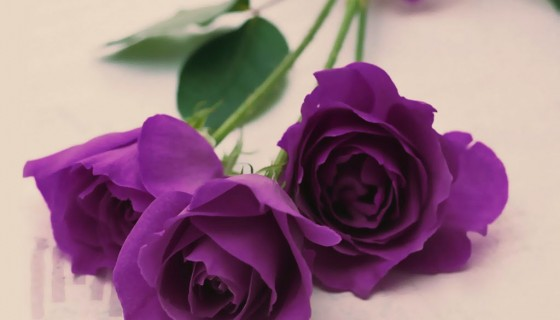 Purple Roses hd wallpaper
