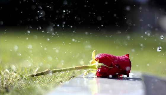 red rose water drops wide wall…