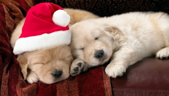 cute puppies pet christmas pic…