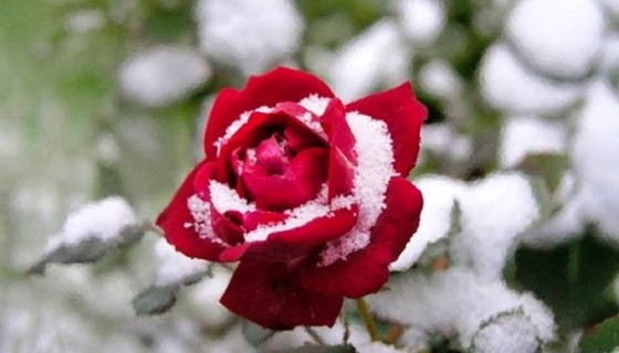 beautiful red rose with snow h…