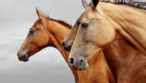 three brown horse animal …