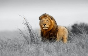 animal lion alone big cat hd w…