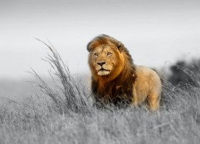 animal lion alone big cat hd wallpapers