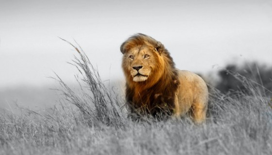 animal lion alone big cat…