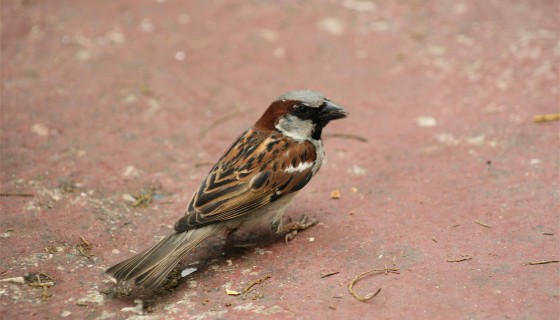 Indian Bird Sparrow HD Wa…