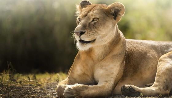 african lioness animal hd wide…