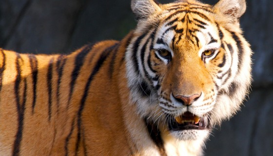 tiger big cat hd wallpaper