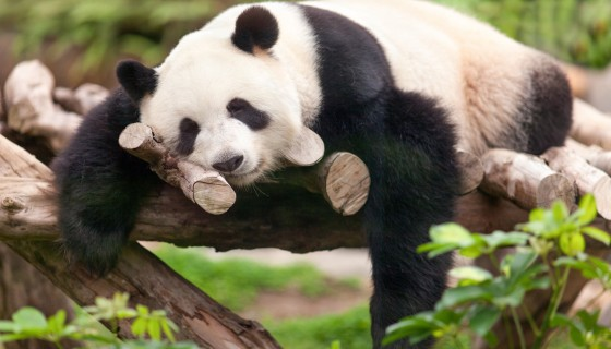Sleeping Panda Animal 4k wallp…