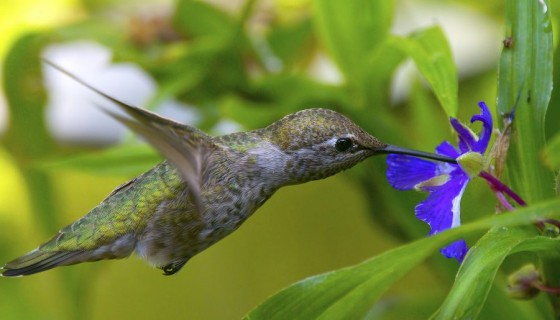 Hummingbirds and blue flower h…
